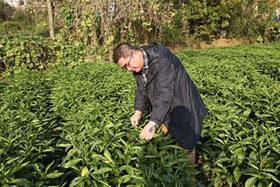 藍葉の収穫0.jpg