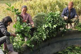 藍葉の収穫1.jpg